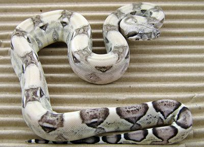 Frick - an Anery Boa Constrictor
