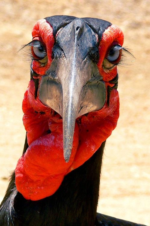 Southern Ground Hornbill  (Bucorvus leadbeateri). The largest species of hornbill, with a range limited to Africa's savannahs, this unusual bird is critically endangered. photo: Arno Meintjes.