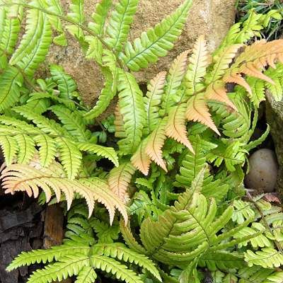 Great evergreen ferns for year round colour.