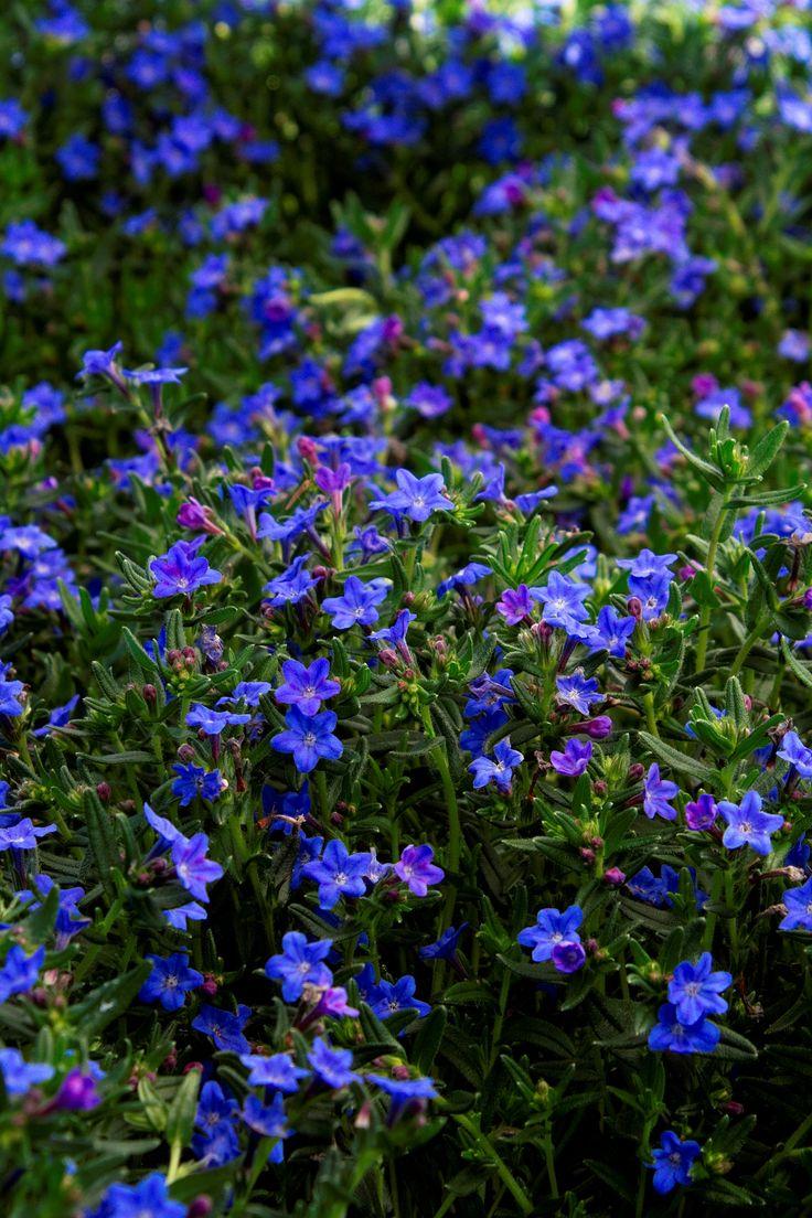 45 best erysimum images on pinterest flowers garden ideas and grace ward lithodora monrovia grace ward lithodora 6 12 tall dhlflorist Images