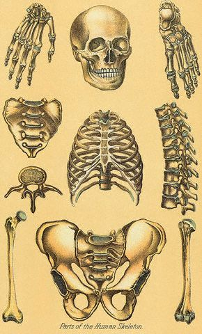 134 best human skeleton images on pinterest | human skeleton, Skeleton