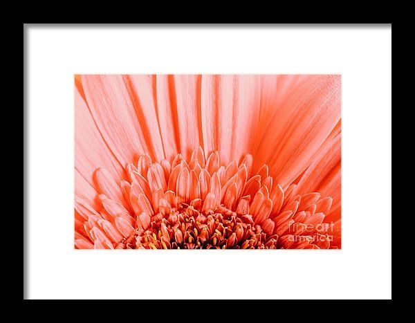 Pink Gerbera Flower Petals Abstract Macro Framed Print