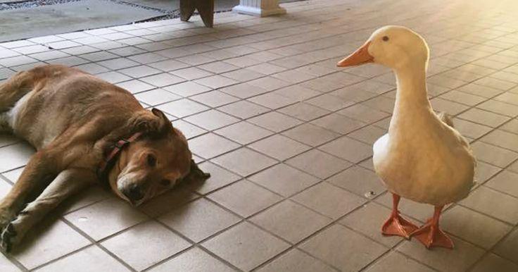 Après la mort de son meilleur ami, ce chien a sombré dans la dépression pendant 2 ans, jusqu'à ce qu'il rencontre ce canard.