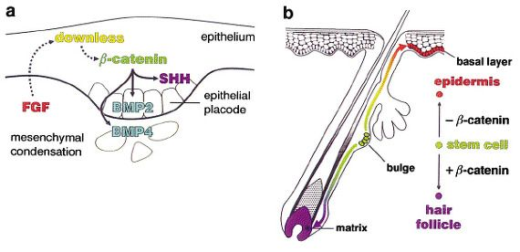 B-Catenin은 탈모치료(모모세포 분화)에 중요한 역할을 하는 단백질이다.