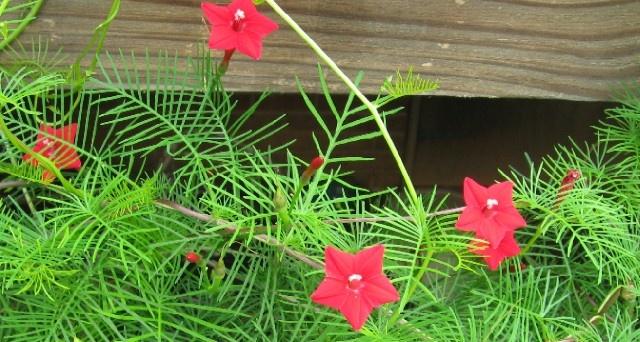 'hummingbird' or trumpet vineCypress Hummingbirds Vines, Cypresshummingbird Vines, Gardens Growing, Trumpets Vines
