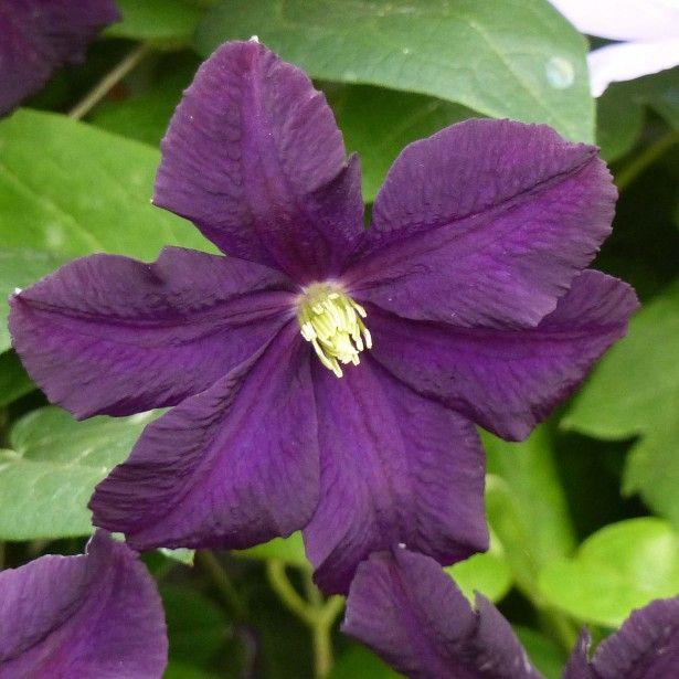 Clématite à grandes fleurs Romantika