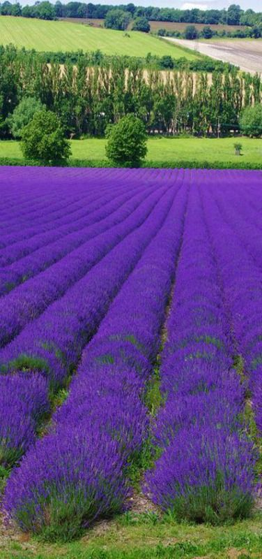 Lavender Farm Shoreham. Kent, England. Near Home!