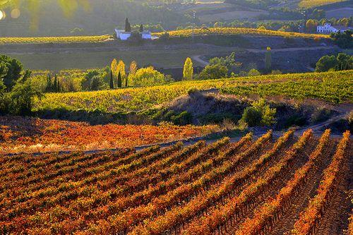 Vinyes de Santa Maria de Foix, El Penedès, Barcelona.