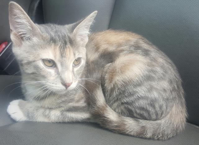 This CAT IDA466849 URGENT Harris County Animal