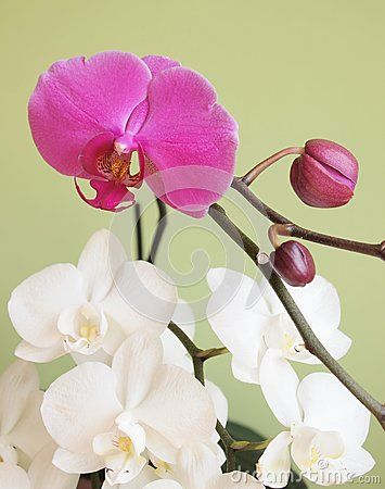 A pink and white orchids with white background