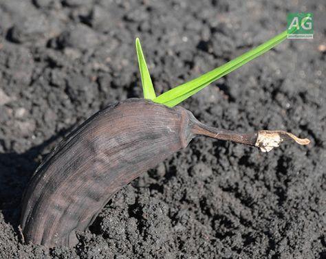 посадить банан