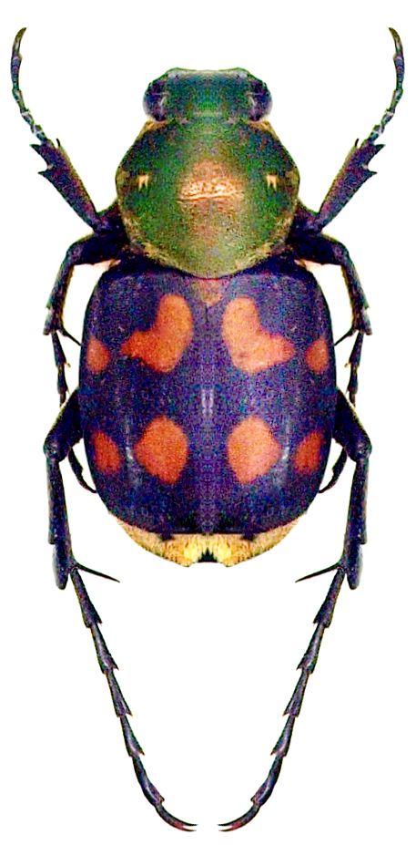 Epitrichius bifasciatus (Moser, 1901) F Cetoniidae