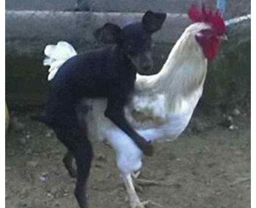 Chicken Pet Quote: Humping Animals