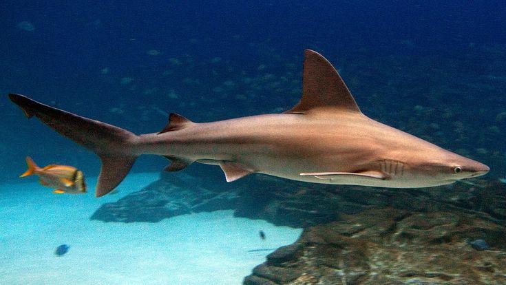 Brown Sandbar Shark (EPCOT)