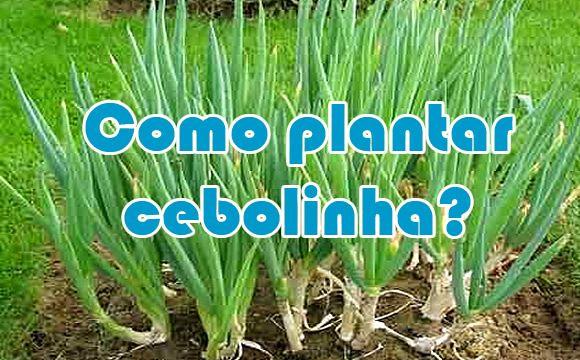 Está faltando cebolinha verde na sua horta? Que tal aprender o passo a passo de como plantar cebolinha? Confira as dicas e detalhes para o plantio.