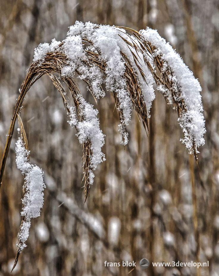 Een rietpluim buigt onder het gewicht van versgevallen sneeuw. Op de achtergrond vormen andere besneeuwde rietpluimen een bijna abstract patroon van bruine lijnen en witte stippen.