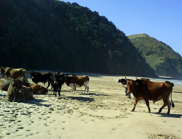 Even the cows love the Wild Coast, South Africa!