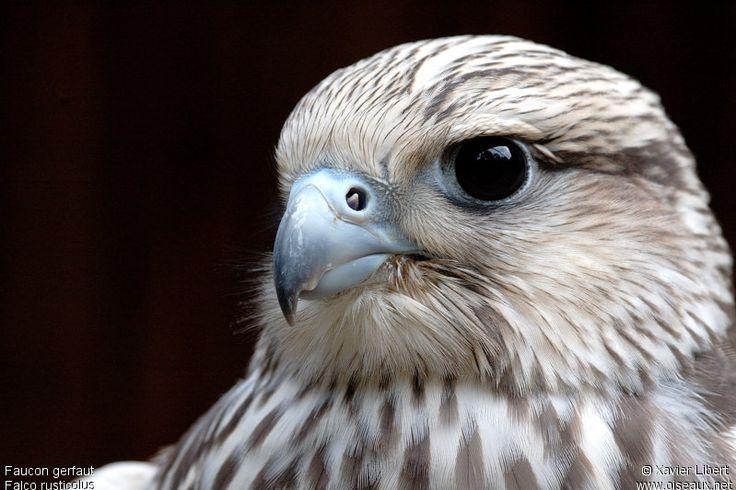 Faucon gerfaut - Falco rusticolus