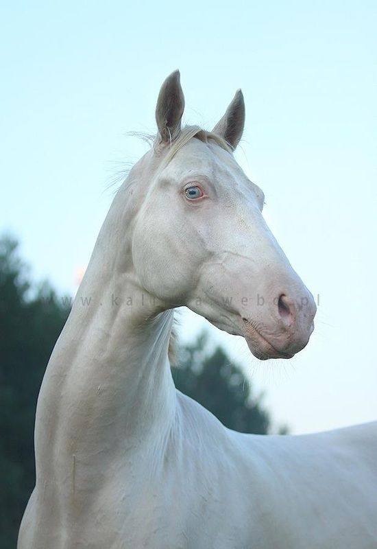 Rare Albino Horses 1000+ images about HOR...
