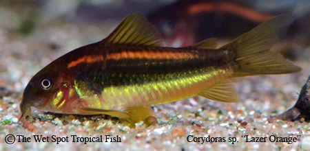 "Corydoras sp. ""Lazer Orange"""