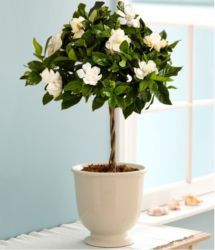 growing gardenia in pot
