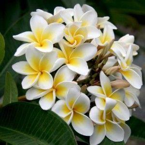 Plumeria rubra blanc à coeur jaune www.tropicaflore.com