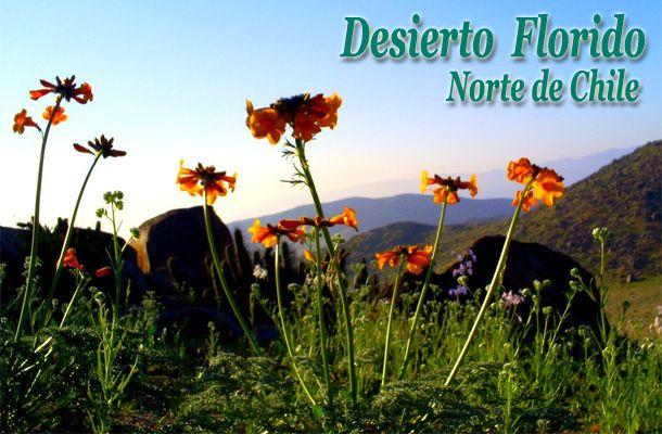 """El florecer del desierto -  """"Desierto Florido"""" - Norte de Chile"""
