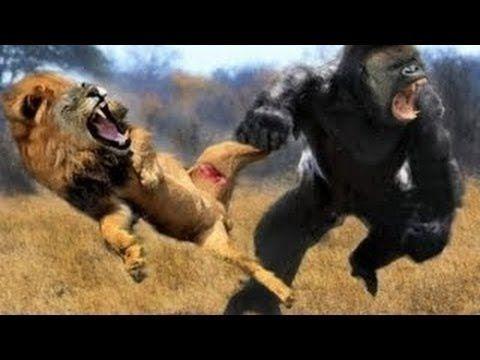 Grande Babuíno vs Leão vs Guepardo ✱ Incriveis Ataques  de Animais Preda...