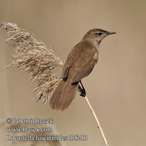 Locustelle luscinioïde - Savi's Warbler