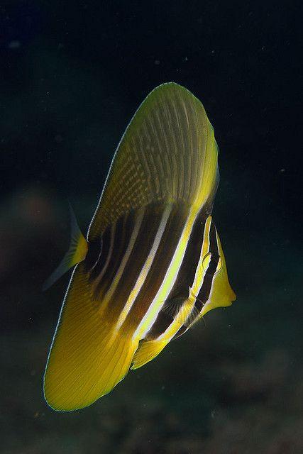Sailfin Tang (Zebrasoma veliferum) Australia, Great Barrier Reef