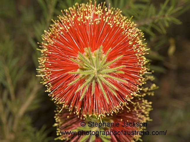 photo of flowers of callistemon rocky rambler Australian native