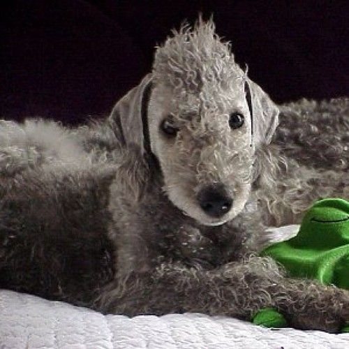 Bedlington Terrier #Dog #Puppy #Puppies