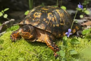 What Should You Feed Your Box Turtle?: Eastern Box Turtle
