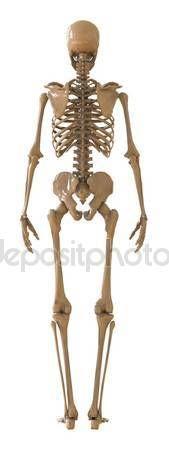 Skelet achteraanzicht. Kunststof lay-out van het menselijk skelet op witte achtergrond. 3D illustratie — Stockbeeld #128397344