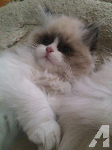 Himalayan kittens for sale san jose ca