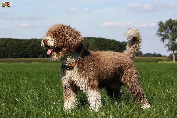 Spanish Water Dog Dog Breed Information Facts Photos Care Within Dog In Spanish