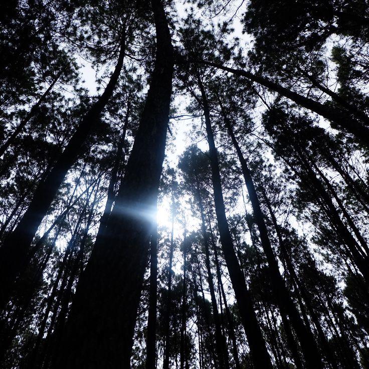 Taman pinus Jogya
