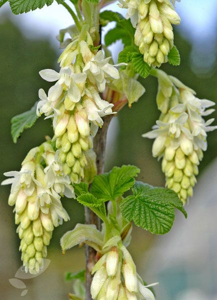 Buy flowering currant Ribes sanguineum 'Elkington's White': Delivery by Crocus.co.uk