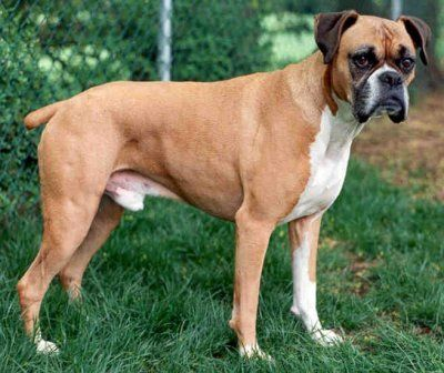 Boxers Good Family Dogs
