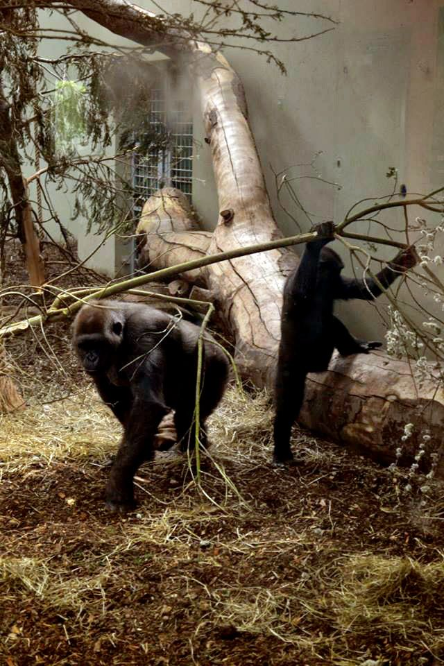 Photograph: The Chimpanzee Together; Date: February 12, 2016; Location: Dublin Zoo, Phoenix Park, Dublin; Photographer: Jedd Cabreza Photography
