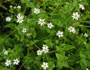 Chickweed (Stellaria media) has secret dissolving powers. Ovarian cysts, dermoid cysts, lumps in the breast and elsewhere can't hold their own against her slippery ways when a dropperful (1 ml) is taken 4-5 times a day, persistently, for many months. And have you tried chickweed pesto? It vibrates with antioxidant power! (Susun Weed)