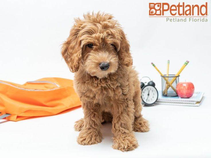Petland Florida has Mini Goldendoodle 2nd Gen puppies for