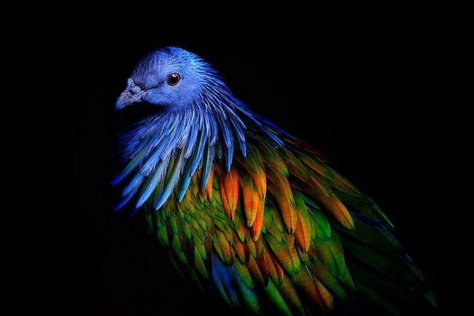 Никобарский голубь — самый красивый вид голубей