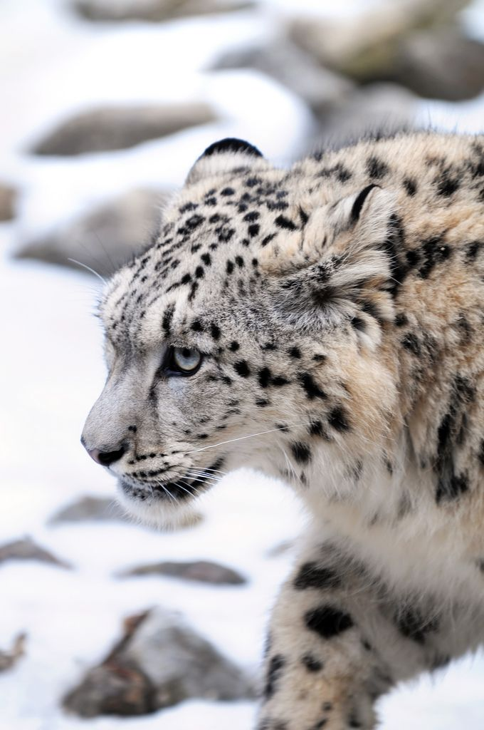 Snow Leopards Discovered Flourishing in Afghanistan | The Ark In Space