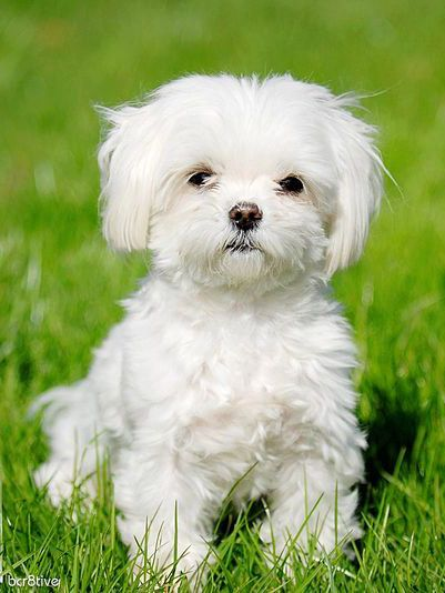 I want a Maltese friend for poppy ☺️