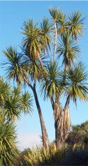 Cabbage trees and Dr Seuss seem to go together.  They are the kind of trees the Lorax would speak for...
