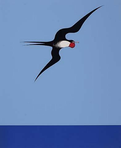 "Don Binney - ""Pacific Frigate Bird"", screenprint, 1969"