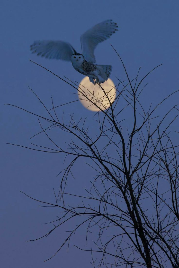 Right place, right time! Snowy Owl in Canada thanks to Jean-Simon Bégin Wildlife Photography