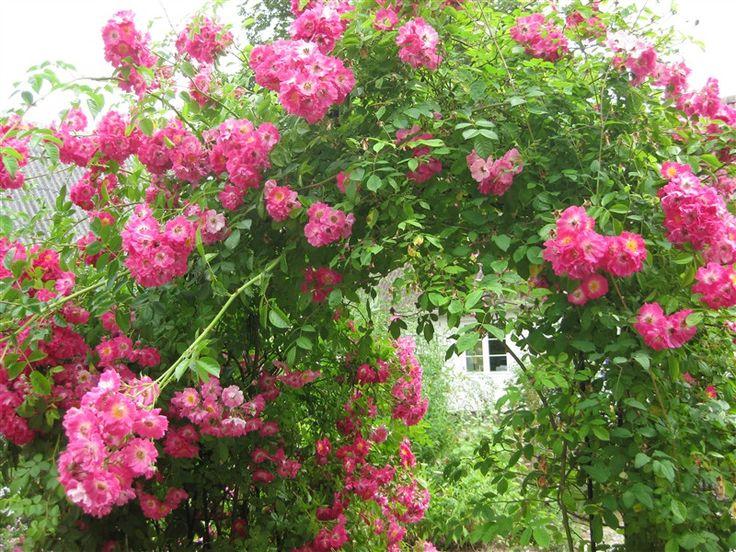 The lovely rambler rose at Veniusgarden