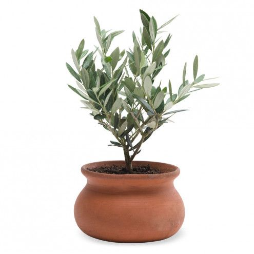 Olive Plant Topiary | VivaTerra